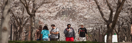 Photo of the cherry trees lining the Centennial Mall at WKU in the spring by Clinton Lewis.