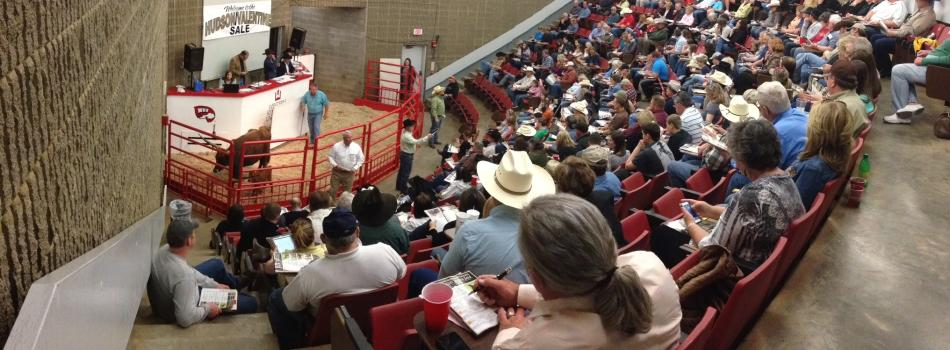 Longhorn Cattle Sale