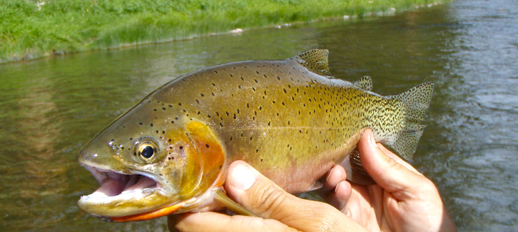 Cutthroat Trout - Blackfoot River, Montana