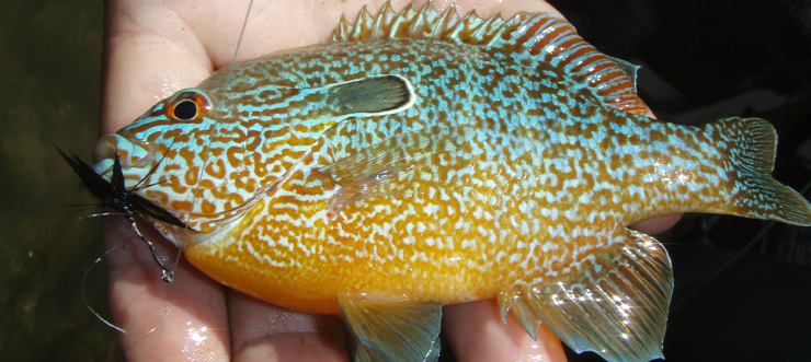 Sunfish caught by George Noe - WKU May term REC 482 Fly Fishing class