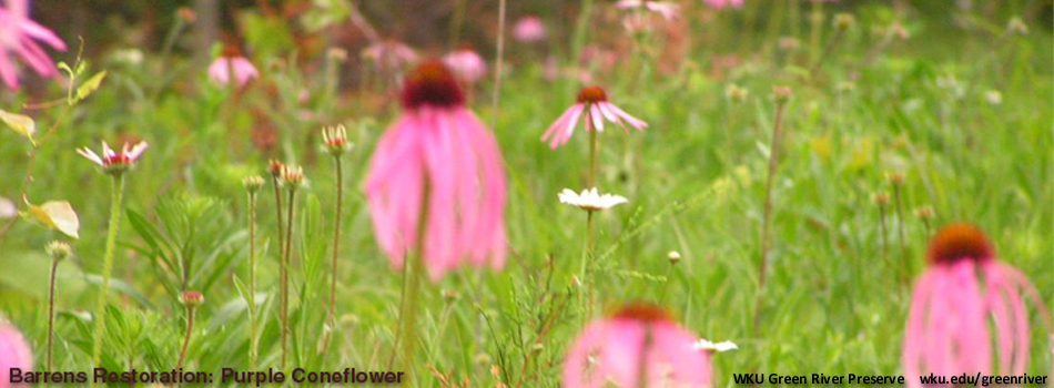 Barrens restoration - purple coneflowers in bloom