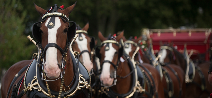 The Budweiser Clydesdales joined the Hilltoppers prior to the WKU vs. Bowling Green State opening football game Aug. 29th, sponsored by JB Distributors.