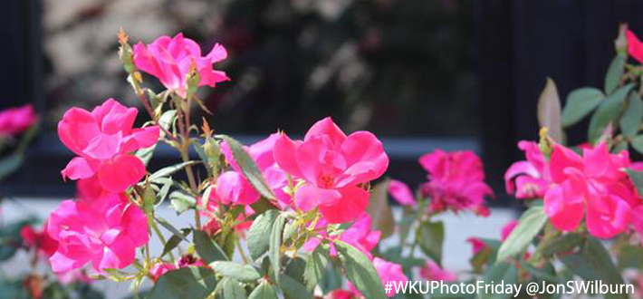 Roses at WKU South Campus