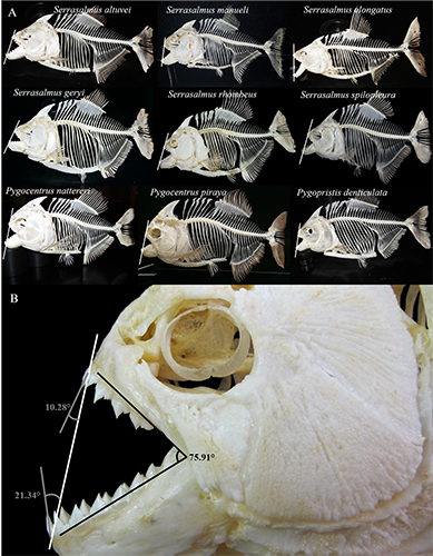 Huskey, others refute hypothesis that piranhas affected evolution of giant Amazon fish