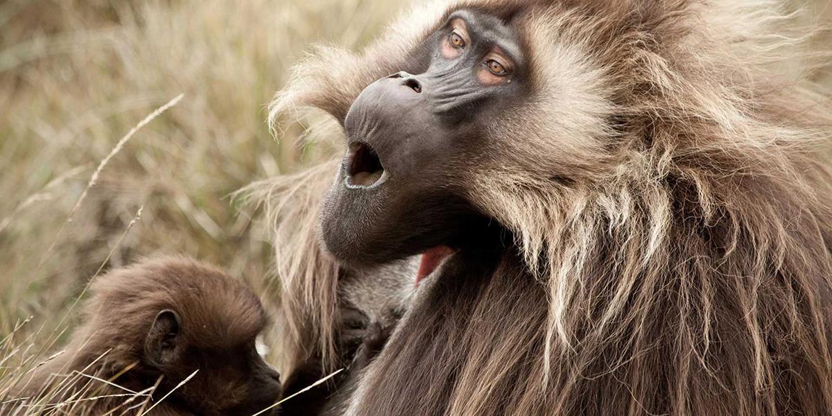 A howling monkey