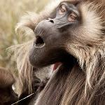 A howling monkey with neat hair