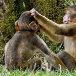 Two monkeys grooming each other