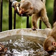 Some monkeys swimming and drinking