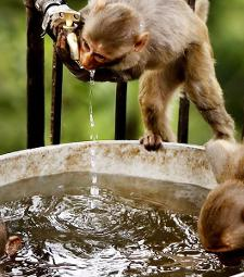 Two tiny monkeys drinking water