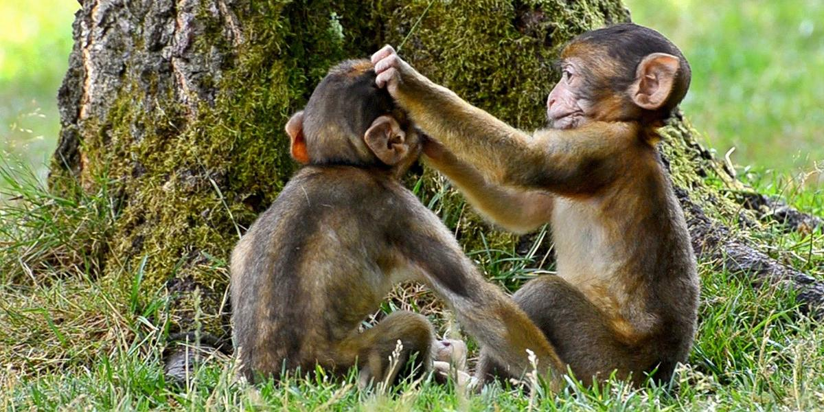 Two monkeys grooming eachother