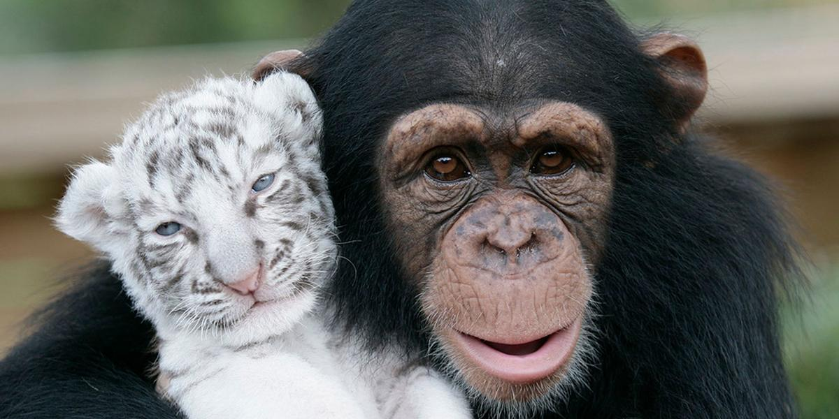 A baby tiger being friends with a chimp