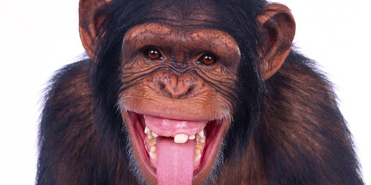 A toothless monkey sticking his tongue out