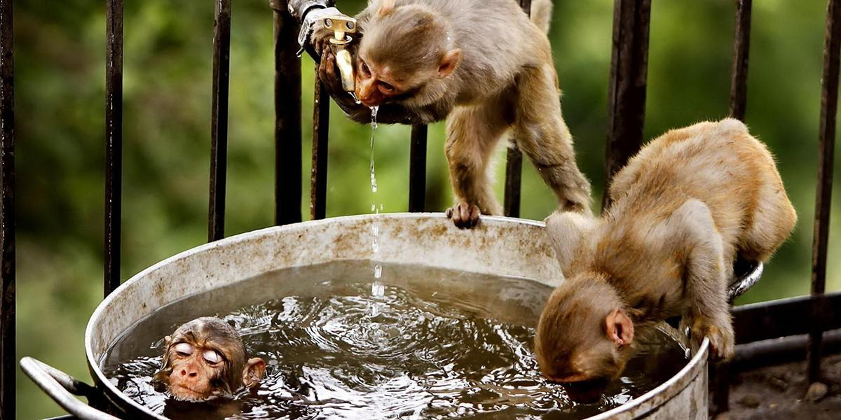 Two monkeys drinking water while another one swims