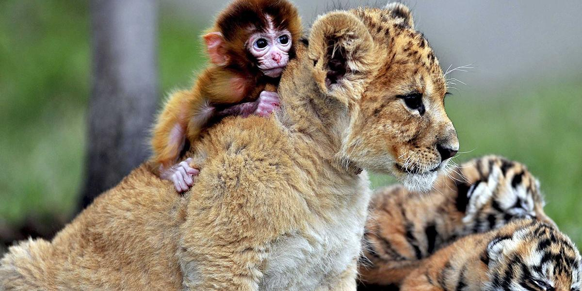 A tiny monkey on a baby tigers back