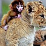 A tiny monkey on a baby tigers back