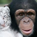 A chimp being friends with a baby tiger