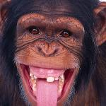 A monkey missing a tooth sticking his tongue out