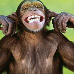 A monkey plugging his ears