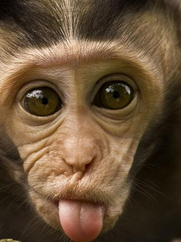 A monkey with his tongue sticking out