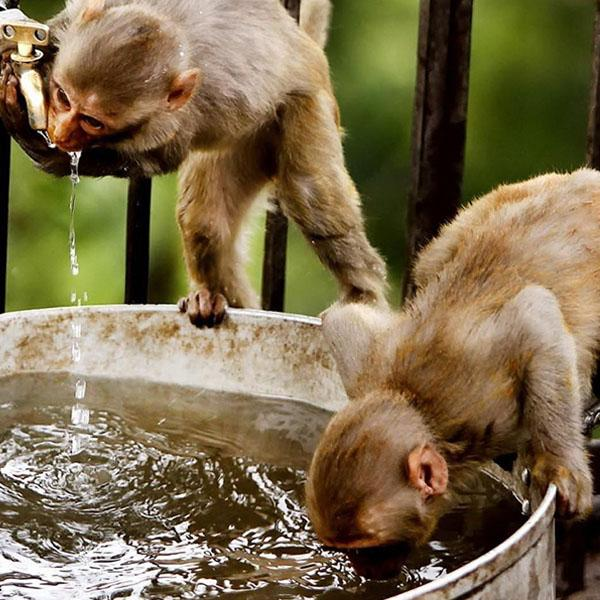 Two small monkeys drinking water