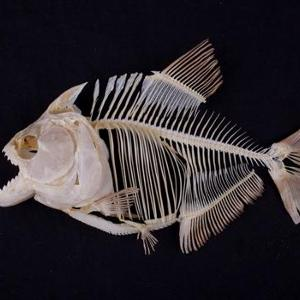 Serrasalmusrhombeus (Black or Redeye Pirhana) Skeleton