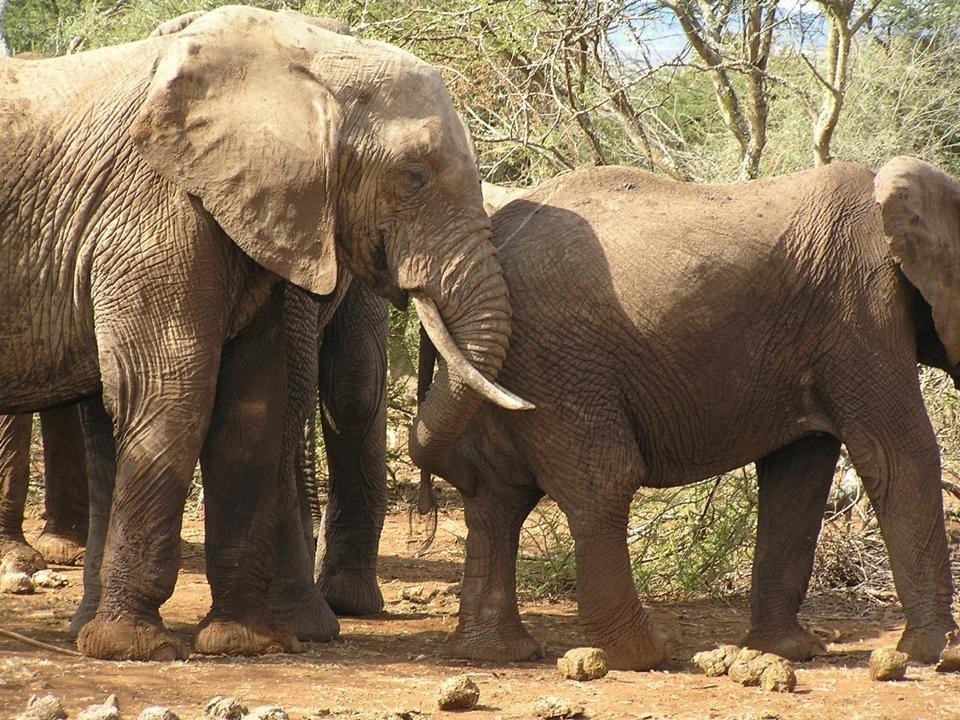 Pair of African Elephants