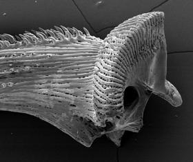 Pectoral fin spine ridges SEM