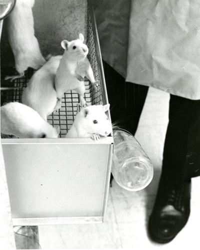 Rats in a laboratory.